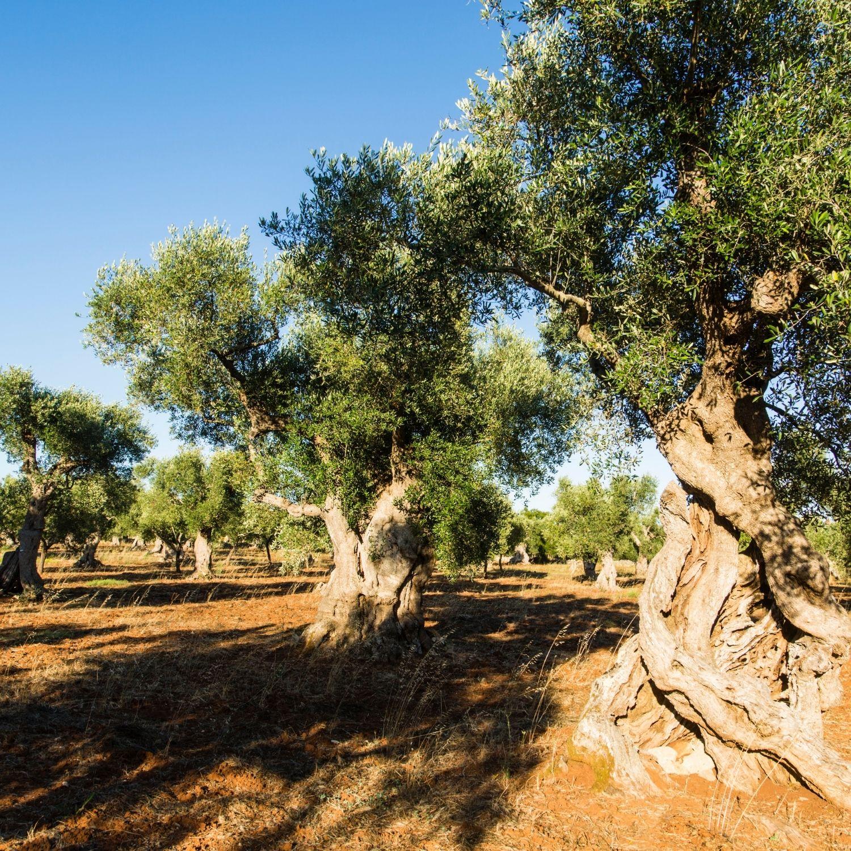 Tartufolio Bianco -  in olio di oliva - 100 ml